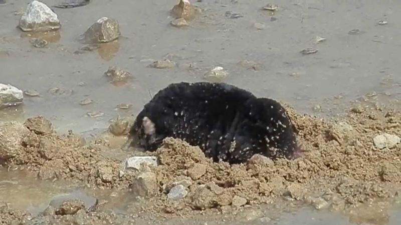 Mole digging a hole into gravel road / Крот роет пещеру на грунтовке
