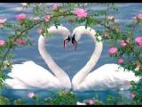 Лебединная верность