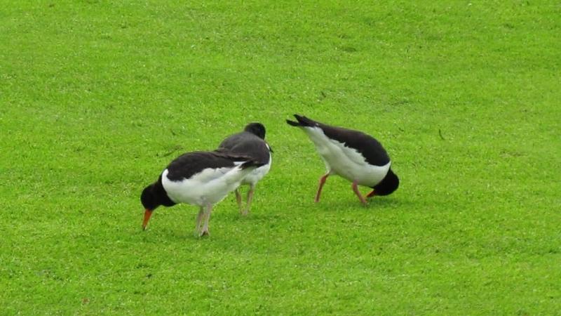 рай для орнитолога -поле для гольфа в Рейкьявике.