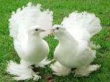 Александр Сотник - Моя голубка