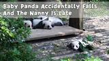 Baby Panda Accidentally Falls And The Nanny Is Late iPanda