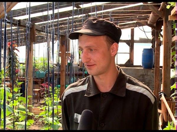 В ИК-5 снимают первый урожай огурцов