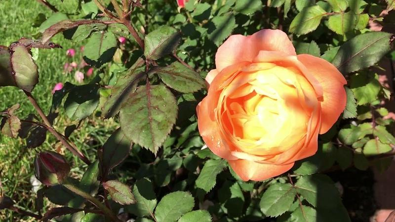 Розы. Экстравагантные обильно цветущие розы Уорнера, Уикс, Кордес, Дэвида Остина, Тантау!