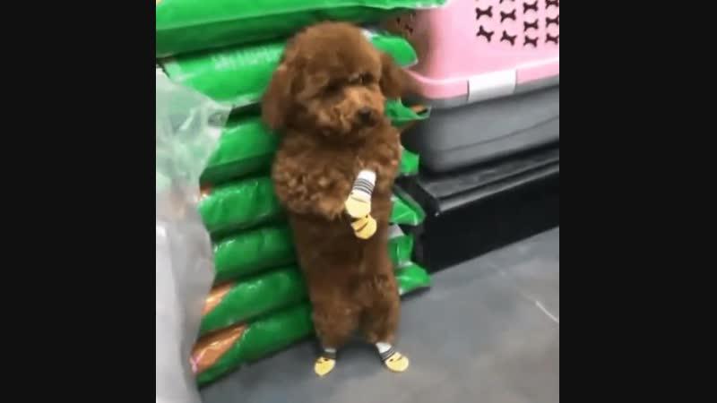 Собачка, которой стыдно...