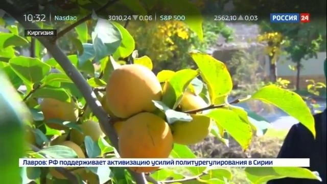 Новости на Россия 24 • В Киргизии наступил сезон сбора граната и хурмы