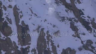 Snow Leopard incredible flight, fall and fight - rare footage from the Himalaya