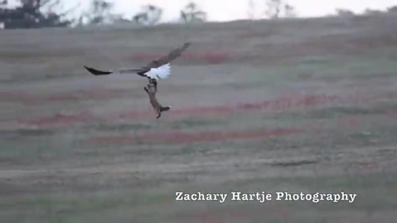 Яростное сражение орлана и лисы за добычу