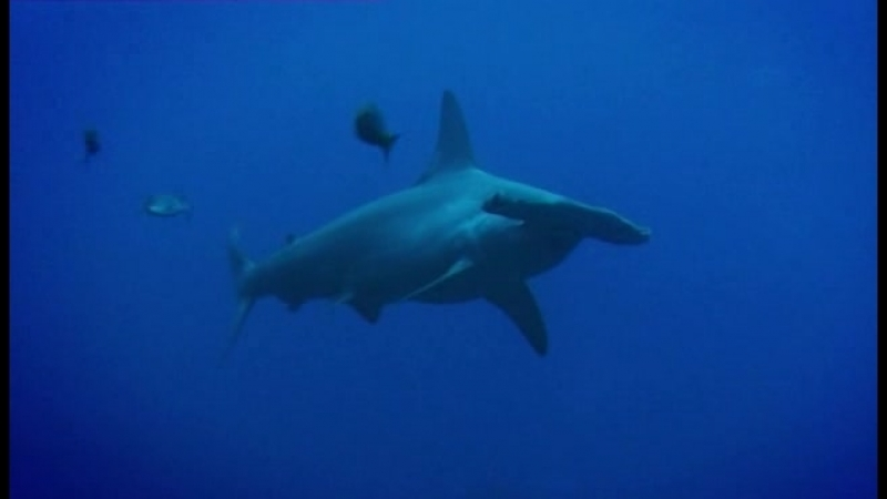 48. Познакомься с Хулой - молотоголовой акулой