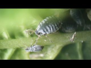 Ветка цветущей черемухи под микроскопом: цветок, лист, тля и муравей-пастух.