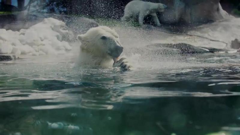 Белые медведи рыбачат в зоопарке Сан-Диего