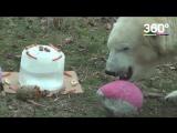 Белый медведь празднует день рождения