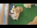 Фестиваль собак породы Вельш-корги в Санкт-Петербурге