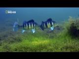 Цихлиды оцеллярисы с икрой в естественной среде обитания