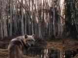 Одинокий волк -Блатной Удар
