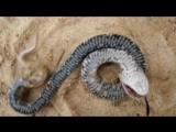 Змея притворяется мертвой