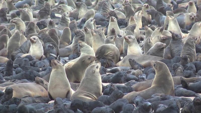 Cape fur seals Arctocephalus pusillus at colony, Namibia