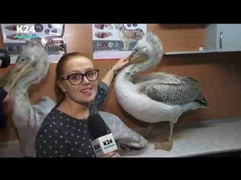 Ещё троих пеликанов, отбившихся от стаи, привезли на зимовку в Алтайский край