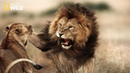 National Geographic Animals | Lion Animal Planet - Discovery Nature Wild Wildlife
