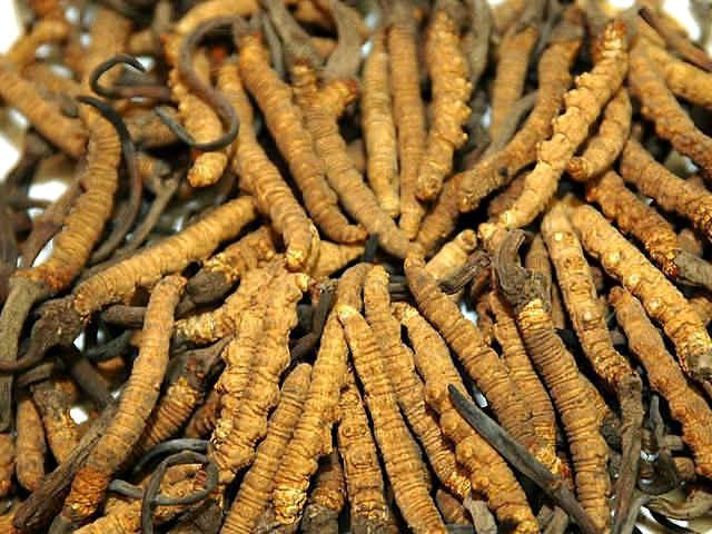 гусеничный грибок (caterpillar fungus)