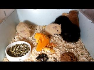 Морские свинки.Мама Тайра с малышами.