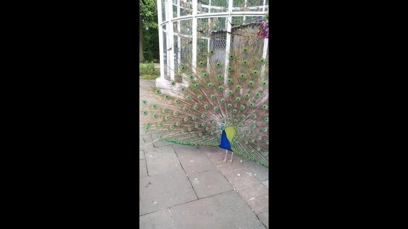 Павлина птичка красиваяБирминга Ботанический Сад