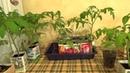 Преимущества февральской рассады томатов