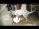 ДОБАВЛЮ ВСЕХ В ДРУЗЬЯ Кот моет полы и ругается
