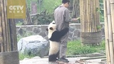 Watch Playful giant panda cant let zookeeper go