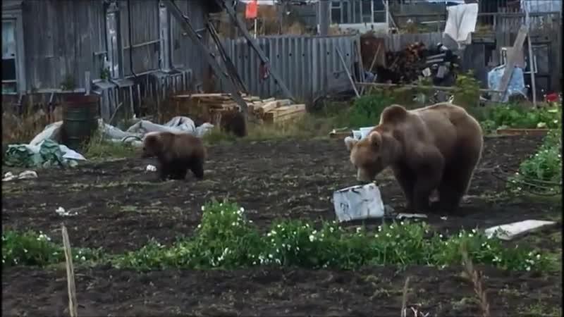 На Камчатке медведи проверили теплицу на даче и унавозили огород