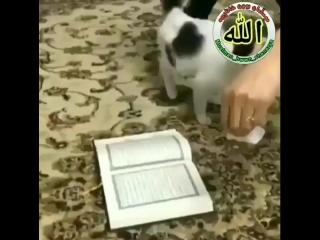 Kucing saja sanggup memuliakan Al-Qur'an. Masa manusia nggak bisa_ . Ajaib. _scream__scream_ ( 640 X 640 ).mp4