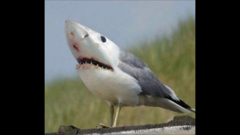 ахуеть! ебанутый на всю голову птинец хотел стать хищником и превратился в акулу