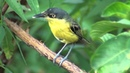Common tody flycatcher Желтобрюхий тоди мухолов Todirostrum cinereum