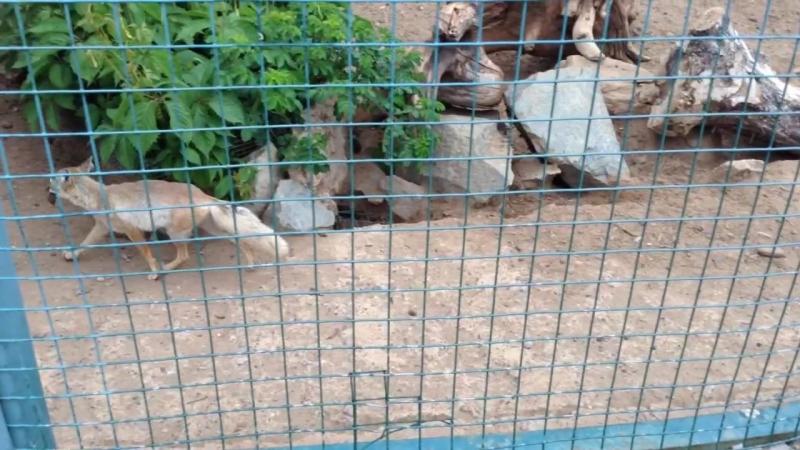 Песчаные лисы зоопарка Удмуртии.
