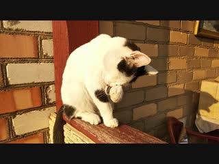 Кот Семён. Никто не помешает мне умыться.mp4