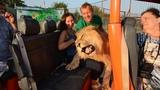 Филя любит туристов! The Lion hugs people