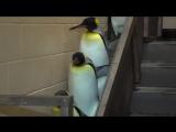 Пингвины идут под