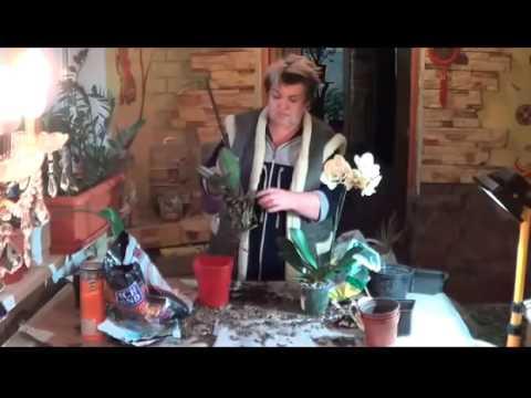Фаленопсис ( Орхидея Бабочка). Что Следует Знать О Фаленопсисе