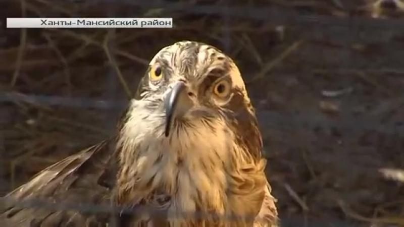 Птица года поселилась в окрестностях Ханты-Мансийска