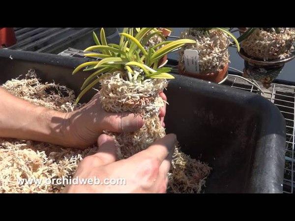 OrchidWeb - How to repot Neofinetia falcata