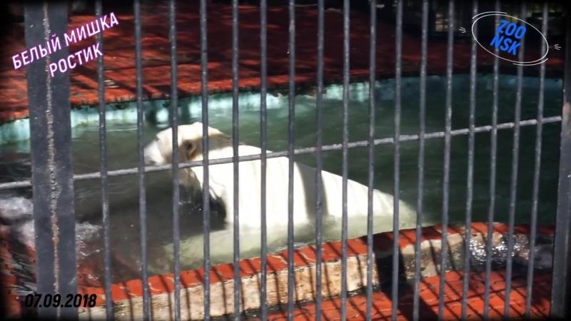 Белый мишка играет с покрышкой Ростик