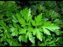 ★ Петрушка — эффективное средство для похудения. Отвар из петрушки и лимона.