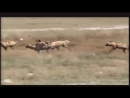 Eagle Catches The Baby Leopard But Later Discovery Wild Animals 2018 Zebra Hyena Cheetah