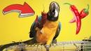 ЛУЧШИЕ ПРИКОЛЫ С ЖИВОТНЫМИ ОКТЯБРЬ 2018 Собаки Кошки и Попугай едят красный ПЕРЕЦ Кто ворует ЯЙЦА