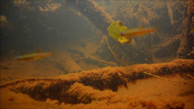 Биотоп кардинала (Tanichthys albonubes). Китай