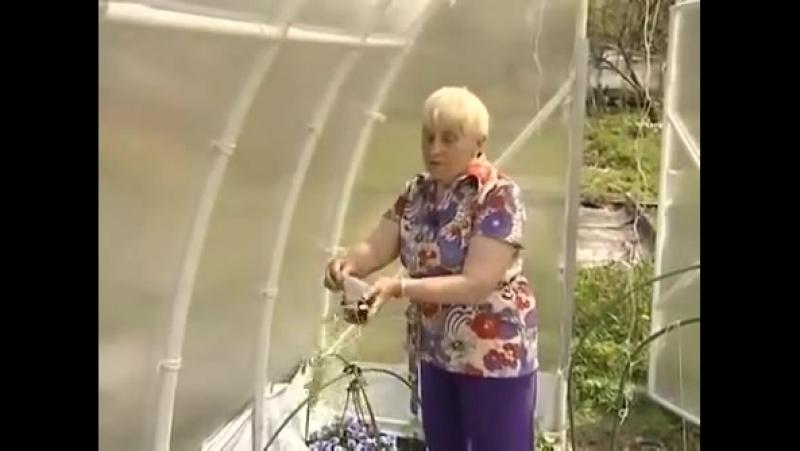 Выживание. Сделай сам. Умелые руки. Сад и огород – метод Галины Кизимы. Выращивание помидоров без полива.