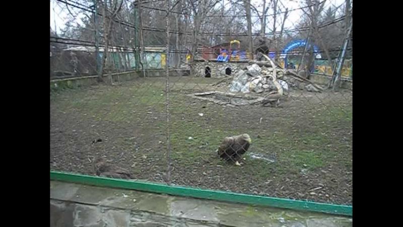 Хищные птицы: белохвостый орлан, черный гриф и сип белоголовый