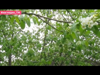 В Тобольске распускается черемуха
