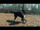 Бернский зенненхунд - Все о породе собаки - Собака породы бернский зенненхунд