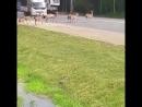 Из-за строительства дороги и вырубки леса животные не знают куда бежать.Калужское шоссе 47км.