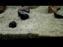 цихлазомы чернополосые и мальки акары